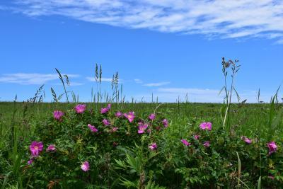 オホーツク海に面したオムサロ原生花園2021~夏の花が彩ります~(北海道紋別)