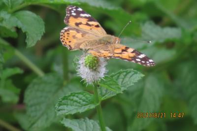 2021森のさんぽ道で見られた蝶(38)ヒメアカタテハ、ルリタテハ、ツマグロヒョウモン、ツバメシジミ等