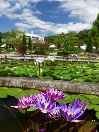 「あしかがフラワーパーク」の熱帯性スイレン_2021(3)_花数増えて綺麗です(栃木県・足利市)
