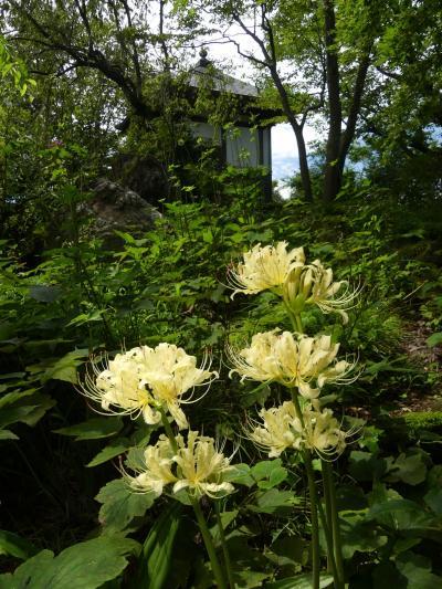 「常楽寺」のヒガンバナ_2021_淡黄色の花が、咲いています。(群馬県・太田市)
