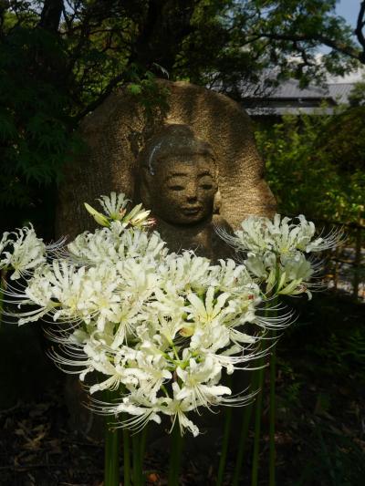 「常楽寺」のヒガンバナ_2021(2)_白が、見頃になりました。(群馬県・太田市)