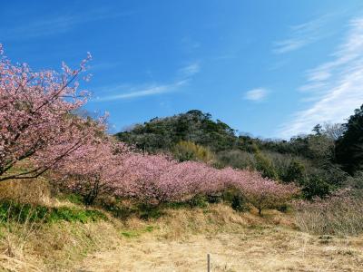 鋸南は日本一の桜の里?というので行ってみました。2月の話ですが・・・