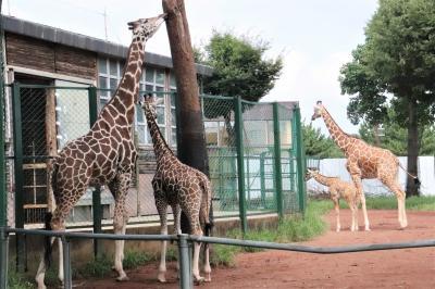 ベビーが成長した8月半ばの埼玉こども動物自然公園(北園)キリンの赤ちゃん大放飼場デビューで5頭同居~レッサーパンダは久しぶりのリュウセイ兄弟