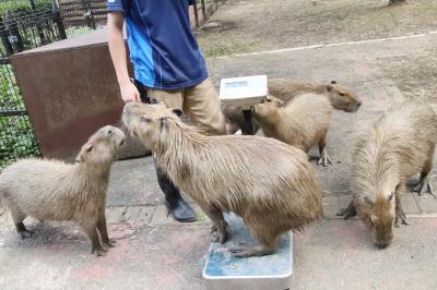 ベビーが成長した8月半ばの埼玉こども動物自然公園(東園)今回はコアラ全員&カピバラ体重測定~カンガルーとワラビーとクオッカベビーの写真は微妙