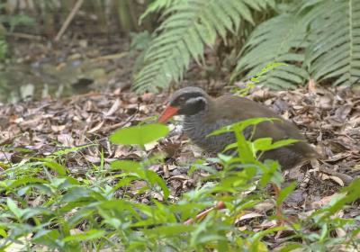 ヤンバルクイナ他沖縄固有種の野鳥との出会いを求めて国頭村へ