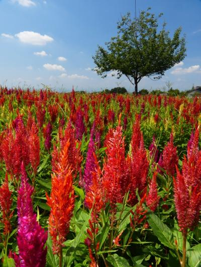 「八王子山公園」のケイトウ_2021_綺麗に咲き揃っていました。咲き始めのコスモスも(群馬県・太田市)