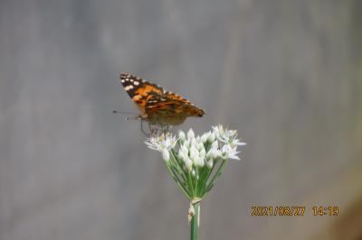 2021森のさんぽ道で見られた蝶(39)ヒメアカタテハ、イチモンジセセリ、コミスジ、アカボシゴマダラ等