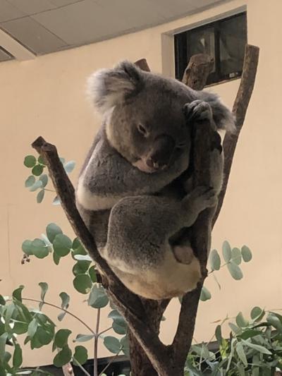 久しぶりの多摩動物公園コアラ