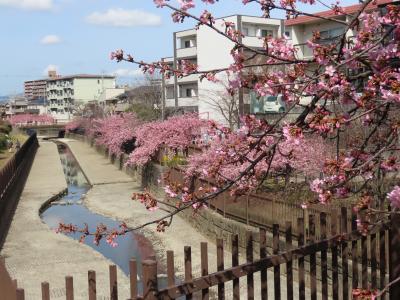 京都 淀 河津桜(Kawazu Cherry Blossoms, Yodo, Kyoto, JP)