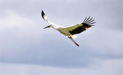 吉備津彦神社周辺野鳥観察 岡山にコウノトリが7羽やって来た。おまけの翡翠と青鷺。