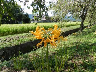 兵庫県多可町『曼珠沙華の里』で彼岸花!(黄色や白のヒガンバナもありましたよ~)