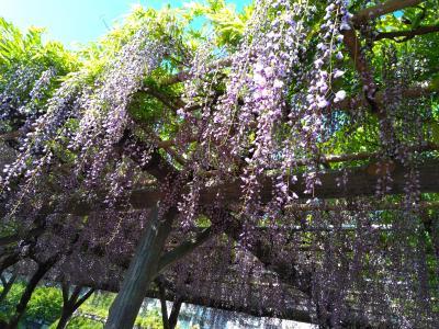 藤を楽しむ東京