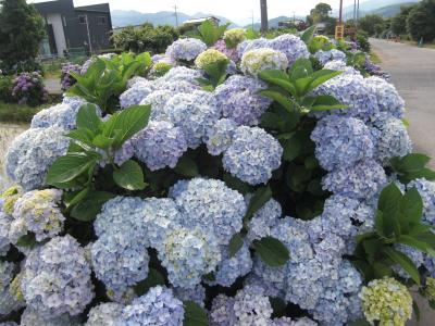 梅雨の時期でもアジサイは花開くーあじさい農道ー