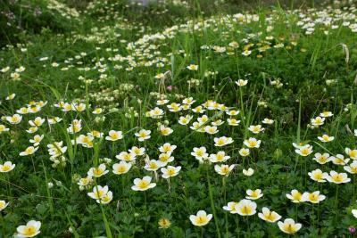 大雪山旭岳を彩る高山植物の花々2021~姿見から裾合分岐までのお花畑~(北海道)