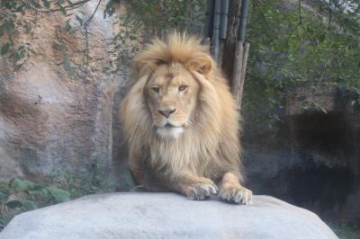 旭山動物園ライオン&トラ猛獣他