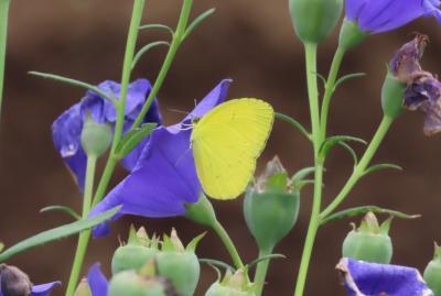 2021森のさんぽ道で見られた蝶(40)キマダラセセリ、ウラナミシジミ、クロコノマチョウ等