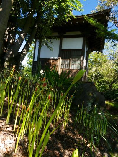 「常楽寺」のヒガンバナ_2021(3)_花芽が出揃って開花間近です。(群馬県・太田市)