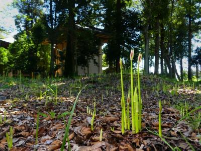 「正法寺」のヒガンバナ_2021_花芽が出始めました。(群馬県・太田市)