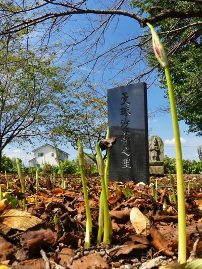 「恩林寺」のヒガンバナ_2021_花芽が出始めています(群馬県・邑楽町)