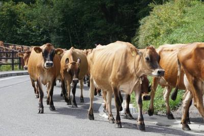 【下仁田】日本のグリンデルワルト♪かわいい~♪酪農発祥の地でカウパレード