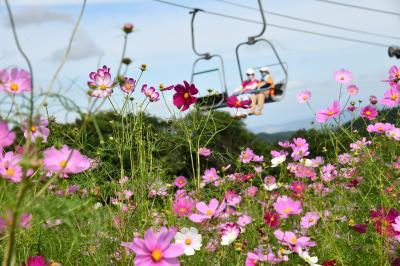 そよ風に揺れる黒姫山のコスモス、可愛いね!