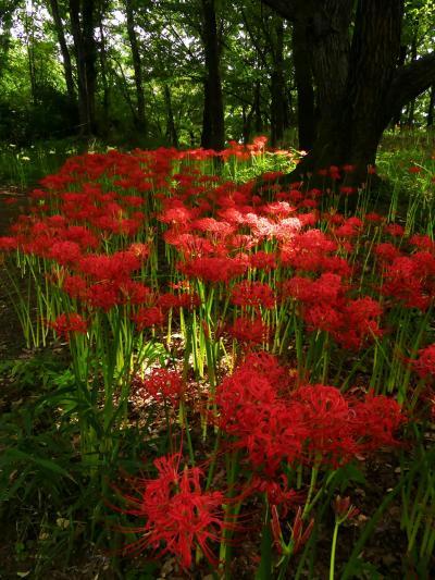 「境御嶽山自然の森公園」のヒガンバナ_2021_開花始まり、2分咲きくらいです。(群馬県・伊勢崎市)