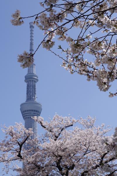 2021年浅草・隅田川の桜