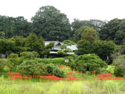 「つつじが岡第二公園」のヒガンバナ_2021_2分咲きくらいですが、見頃が始まっています(館林市)