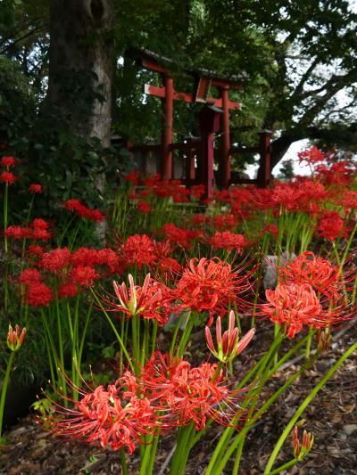 「久保島大神社」のヒガンバナ_2021_開花が進んでいて、ほぼ満開です。(埼玉県・熊谷市)