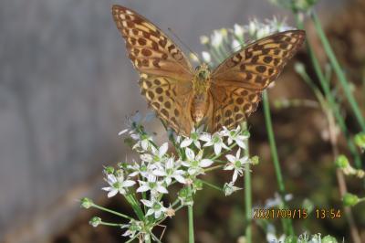 2021森のさんぽ道で見られた蝶(41)その①ニラの花を訪れる蝶・・ミドリヒョウモン、ツマグロヒョウモン、キアゲハ等