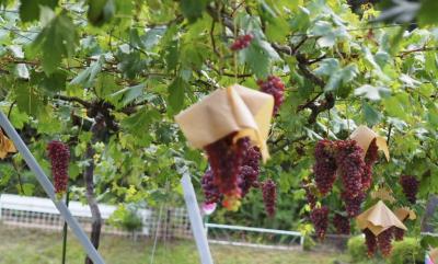 ぶどうと彼岸花の季節