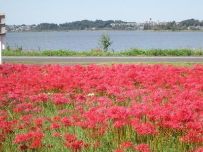 柏市の旧沼南町・カシニワ・手賀沼自然ふれあい緑道・彼岸花・2021年