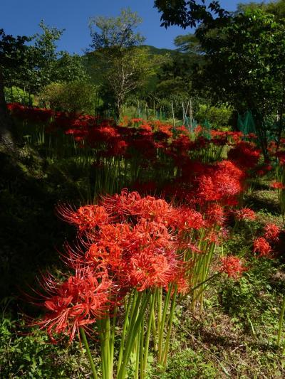 「梅田湖ロウバイパーク」のヒガンバナ_2021_綺麗に咲き揃っています。(群馬県・桐生市)