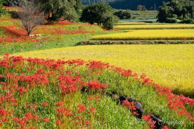 秋の定番風景 ~彼岸花と稲穂~