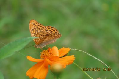 2021森のさんぽ道で見られた蝶(42)ミドリヒョウモン、アゲハチョウ、スジグロシロチョウ、ウラナミシジミ等