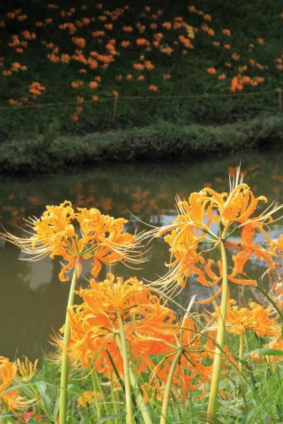 高浜市稗田川の川べりに咲く、三色の彼岸花の競演♪