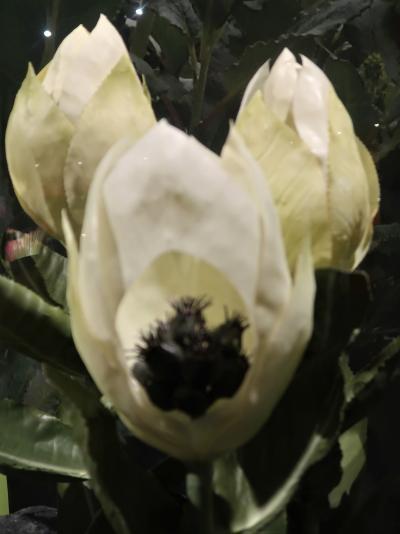 上野11 科博/植物-3  「極限の環境に生きる植物」☆高山・砂漠・暗下・樹上・南極にも
