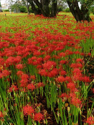 「恩林寺」のヒガンバナ_2021(2)_開花始まり2分咲きくらいです(群馬県・邑楽町)