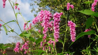 西武庫公園の分区園に咲くお花を見せてもらいに行きました その04。