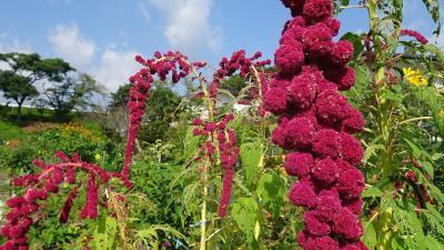 西武庫公園の分区園に咲くお花を見せてもらいに行きました その05。