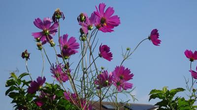 西武庫公園の分区園に咲くお花を見せてもらいに行きました その10。