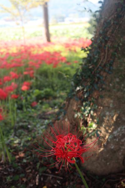 多可町間子(まこう)の「曼珠沙華の里」で彼岸花を堪能*,゚.:。+゚*