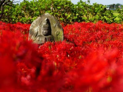 「恩林寺」のヒガンバナ_2021(3)_まだ綺麗ですが、見頃は末期です。(群馬県・邑楽町)