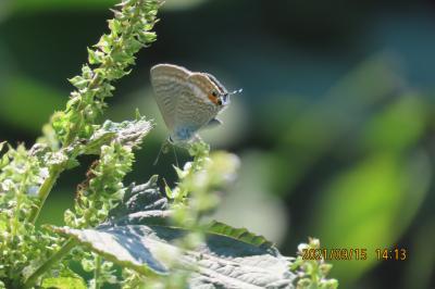 2021森のさんぽ道で見られた蝶(41)その②ウラナミシジミ、ルリシジミ、ルリタテハ、アカボシゴマダラ、ヒカゲチョウ等
