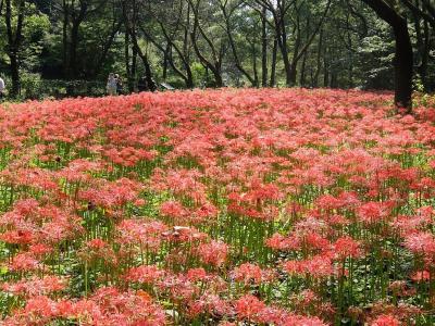 野川公園・自然観察園の群生の彼岸花(曼殊沙華)
