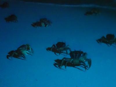 PCR検査をしていく宮古島 池間島 オカガニさんの産卵に立ち会う