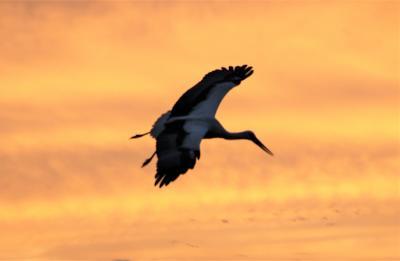最上稲荷大鳥居周辺バードウォッチング コウノトリ・雲雀・翡翠・ダイサギ・鳶・鵜・セグロセキレイ