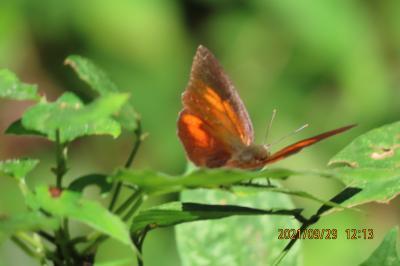 2021森のさんぽ道で見られた蝶(43)その②森の中や荒れ地その他で見られた蝶・・テングチョウ、ウラギンシジミ、ルリタテハ、ヒカゲチョウ等