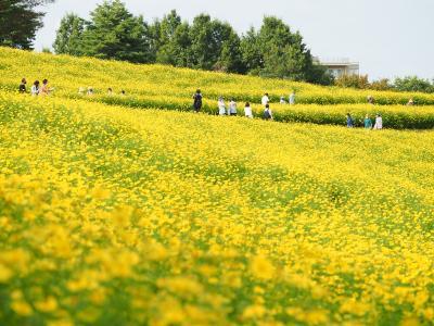 レモン色の丘 昭和記念公園コスモス2021