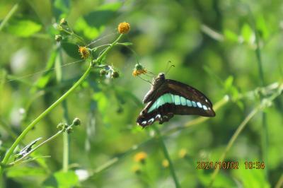 2021森のさんぽ道で見られた蝶(44)その①コセンダングサの花を訪れる蝶